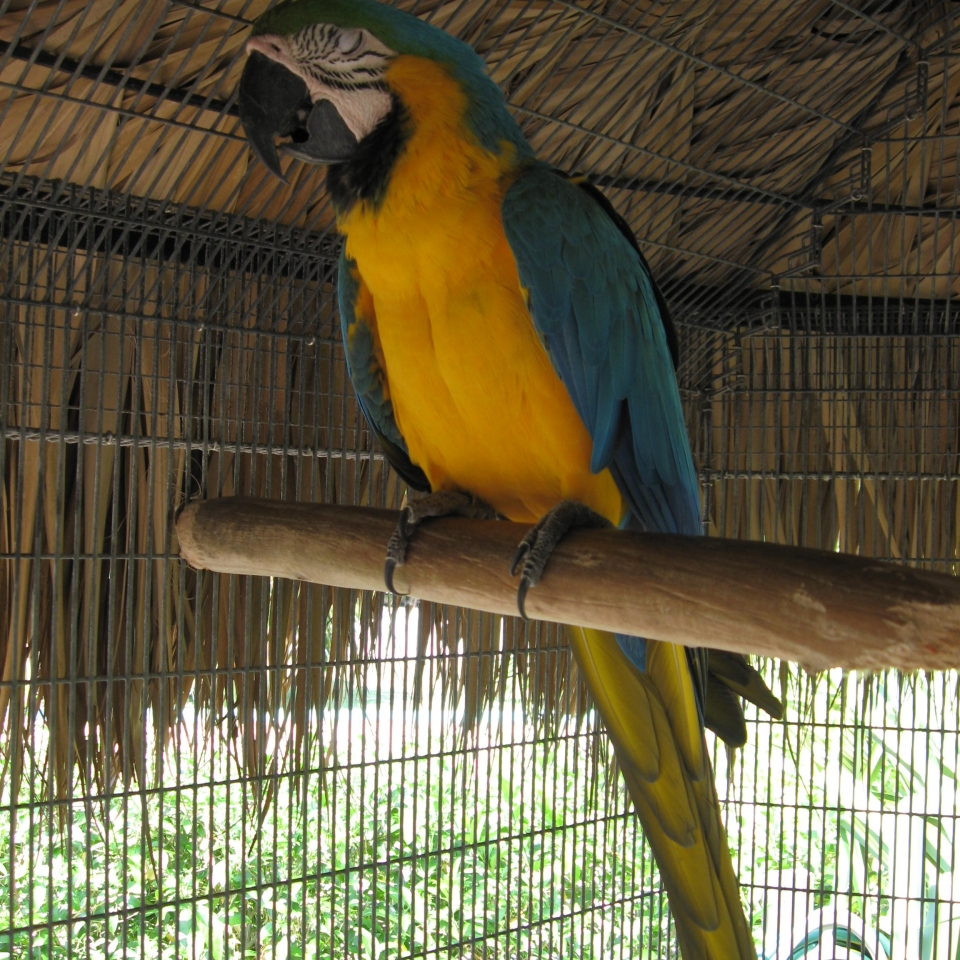 Happy the Blue and Gold Macaw lives at the Gulf View Waterfront Resort Marathon Florida Keys